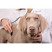 Определение беременности у собак фото