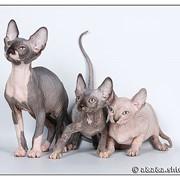 Кошки бесшерстные канадские фото