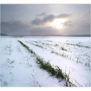Страхование урожая от перезимовки весенних заморозков. фото