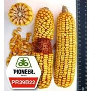 Кукурудза ПР39Б22 / PR39В22 (новий) ФАО 275 фото