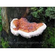Мицелий (грибница) ТРУТОВИКА ОКАЙМЛЕННОГО маточный зерновой биологически высушеный фото