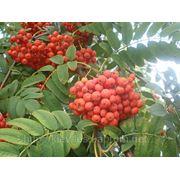Саженцы рябины, граба, клена, липы, черёмухи, ели, сосны, берёзы, дуба красного, можжевельника высотой 0, 5 - 4 метра фото