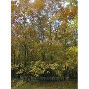 Саженцы дуба красного, граба, клена, липы, черёмухи, берёзы, калины, рябины ели, сосны фото