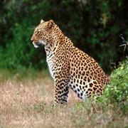 Охота на леопарда на приваде в Намибии фото