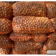 Продам грецкий орех (кругляк) фото