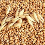 Пшеница фуражная по 4.8 фото