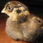 Кормовая добавка «Витадепс» - рекомендовано использовать для цыплят яичного направления начиная с суточного возраста, как для повышения продуктивных качеств птицы, так и для повышения защитных механизмов организма цыплят. фото