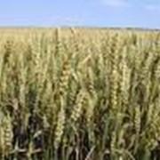 Семена озимой пшеницы Дон 93 фото