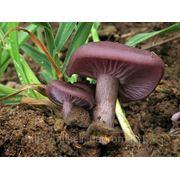 Мицелий (грибница) СИНИЧКИ ( ЛЕПИСТА ГРЯЗНАЯ ) маточный зерновой биологически высушеный фото