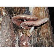 Мицелий (грибница) ВОЛЬВАРИЕЛЛЫ ШЕЛКОВИСТОЙ маточный зерновой биологически высушеный фото