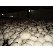Мицелий грибов шампиньон фото
