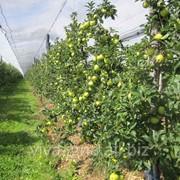 Саженцы яблонь фото