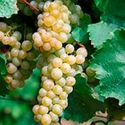 Виноград технический сорт Пти Грин (Petit Green) фото