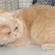 Вязка Шотландский прямоухий кремовый кот для вислоухой. фото