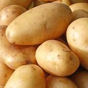 Картофель Удача фото