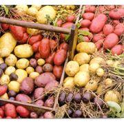 Картофель от фермера оптом свежий в отличном состоянии фото