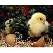 Цыплята цыпленок-бройлер суточные цыплята купить цыплят-бройлеров. фото