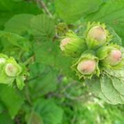 Орехи лесные фото