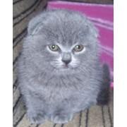 Шотландские котята фото