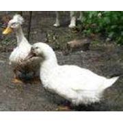 Утка белая фото