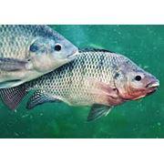 Комбикорм для рыбы от производителя БКЗ ООО. Украина. Бахчисарай. фото