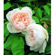 Розы кустарниковые. Украина Киев фото
