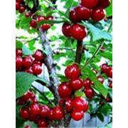 Саженцы вишни.Вишня войлочная фото