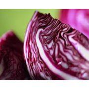 Семена капусты краснокачанной в Украине Купить Цена Фото фото