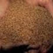 Семена рапса фото