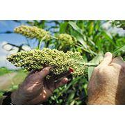 Семена сорго Одесский 205 фото