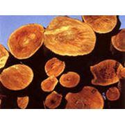 Огнебиозащита деревьев и кустов фото