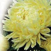 Семена астры в Украине Купить Цена Фото семена астра фото