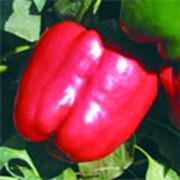 Красный рыцарь X3R F1 перец семена фото