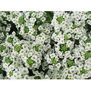 Семена цветов Аллисум белый семена купить цена фото