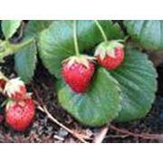 Саженцы земляники садовой фото