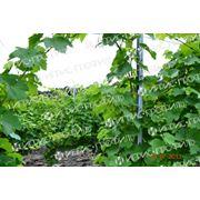 Опора для виноградников (столбики) с внутренним крючком виноградные столбики шпалерного типа Шпалерные столбы (колышки) для садов и виноградников виноградные шпалеры - особый вид профиля который используется для опоры виноградных кустов фото