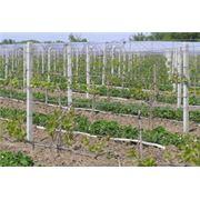 Виноградные столбики фото