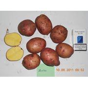 картофель ПОВИНЬ фото