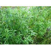 Семена пряно-ароматических культур, семена Эстрагона фото
