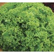 Семена салата в Украине Купить Цена Фото фото