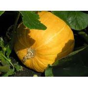 Семена тыквы в Украине Купить Цена Фото тыква семена фото