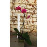 Phalaenopsis (Орхідея)9 фото