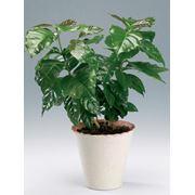 Растения комнатные, кофейное дерево фото
