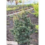Сосна мелкоцветковая Сапфир (Pinus parv. 'Saphir') фото