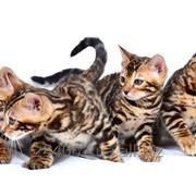 Котята бенгальские фото