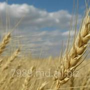 Лучшая цена на пшеницу в Молдове фото