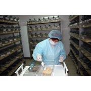 Мыши лабораторные н/линейные (albino) фото