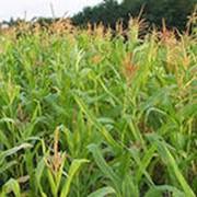 Кукуруза сахарная фото