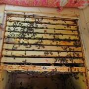 Пчелосемьи карпатских пчел (на дадановськой, украинской и рутовской рамках) фото