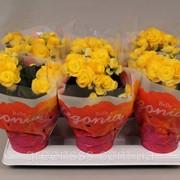 Бегония элатиор Ребекка -- Begonia elatior Rebecca фото